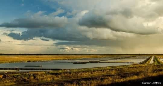 Rice fields on the Yolo Bypass, an engineered floodplain of the lower Sacramento River. Photo by Carson Jeffres, UC Davis