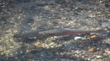Southern Steelhead Protected by Endangered Species Act