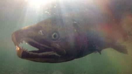 Coho Salmon Receive California Endangered Species Protection